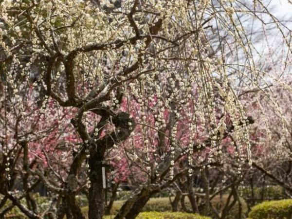 石山寺 桜